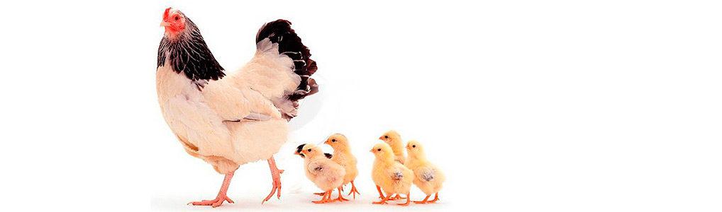 Выращивание и содержание птицы